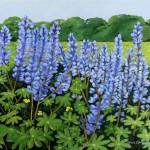 Carol Connelly Pletz, Lupine Field, acrylic